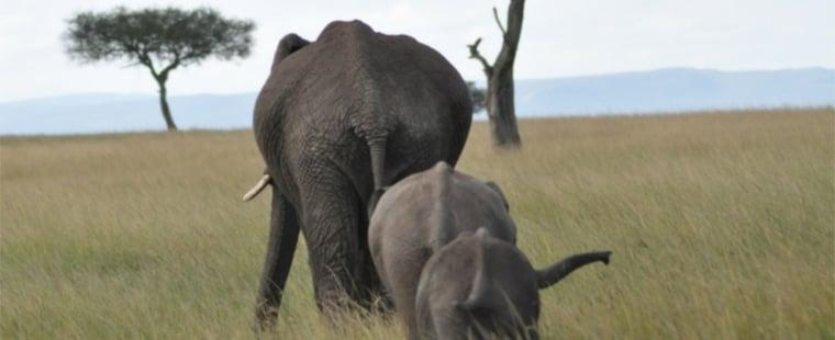 Three elephants in field