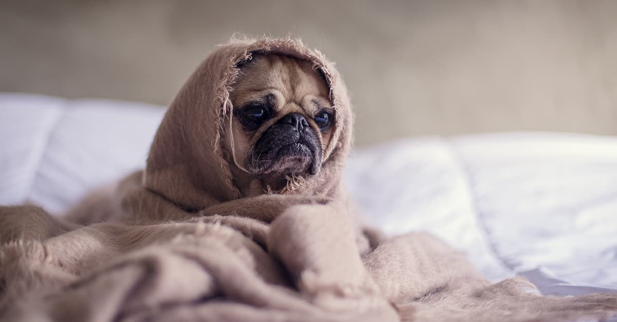 Sad looking dog wrapped in a blanket sitting on a bed